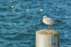 Sea gull on pillar. A small sea gull sitting on a pillar at the Zurich lake, Switzerland Royalty Free Stock Photography