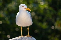 Sea gull portrait Stock Photo