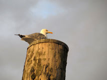 Sea gull on post Royalty Free Stock Image