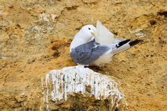 A sea gull preening its feathers Royalty Free Stock Photos