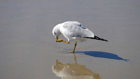 Sea gull preening Royalty Free Stock Images