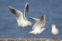Sea gull. Preparing for landing Stock Photos