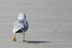 Sea Gull Royalty Free Stock Photo