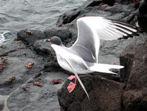 Sea-gull of prey. Sea gull sitting on a rock above several crabs spanning her wings Royalty Free Stock Image