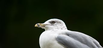 Sea Gull Resting in Front of Evergreen Forest. A single Sea Gull is standing on a seaside anchoring post in front of a evergreen forest in a sleepy fishing town stock image