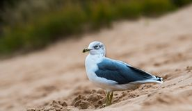 Sea Gull Resting on a Sand Dune. A single Sea Gull is standing on a seaside sand dune with a background of green grass in a sleepy town near the lake royalty free stock images