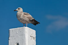 Sea gull resting on a white wooden pole Royalty Free Stock Images