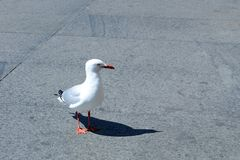 A sea gull on the road Stock Image