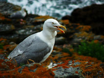 Sea gull on the rock. Photography made in 2009 on Il de Groix, France Stock Photos