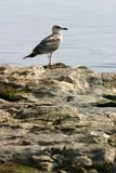 Sea gull on rock Royalty Free Stock Photography