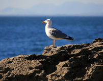 Sea gull on the rock Stock Image