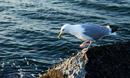 Sea gull. On rock Stock Photo