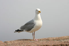 Sea Gull on a Rock Royalty Free Stock Photos