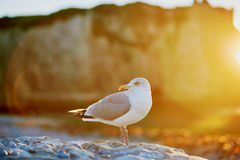 Sea gull on a rock Stock Photography