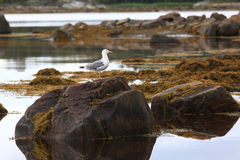 Sea gull on the rocks Royalty Free Stock Photography
