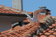 Sea gull on a roof Royalty Free Stock Photo