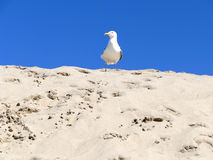 Sea gull on sand dune with blue sky Stock Photography