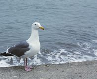 Sea gull by the sea. Sea gull standing alone by the sea Stock Image