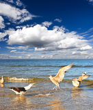 Sea gull on the sea, blue cloudy sky Stock Photos