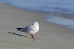 Sea-gull on the sea coast Royalty Free Stock Image