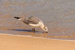 Sea Gull. Walking around the beach in Ft. Lauderdale Florida 2017 Royalty Free Stock Images