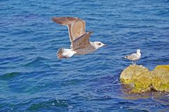 The sea gull Stock Images