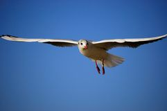 Sea gull, seagull. A flying seagull and blue sky royalty free stock photos