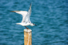 Sea gull. Seagulls are flying in Thailand Royalty Free Stock Images