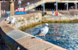 Sea Gull at the seaside of Sydney, Australia Royalty Free Stock Photo