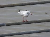 Sea gull Royalty Free Stock Photo