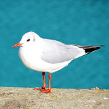 Sea Gull sitting on concrete Royalty Free Stock Photography