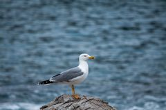 Seagull on the background of the sea. stock photos