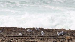 Sea Gull Sitting on a Rock stock video