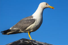 Sea gull sitting on the roof Stock Images