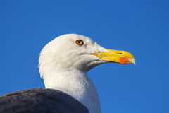 Sea gull sitting on the roof Royalty Free Stock Photo