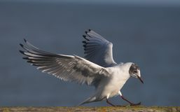 Sea gull skid Royalty Free Stock Images