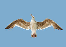 Sea gull in the sky Stock Photo