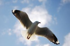 Sea gull in the sky Stock Image