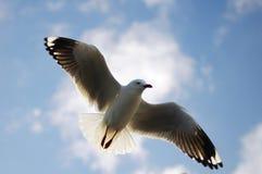 Sea gull in the sky Stock Image