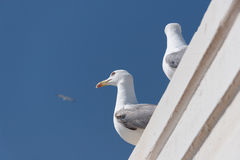 Sea gull in the sky Stock Photography
