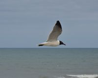 Sea Gull soaring over Atlantic Ocean Royalty Free Stock Image