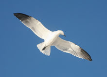 Free Sea Gull Soaring Over Beach Royalty Free Stock Images - 12346559