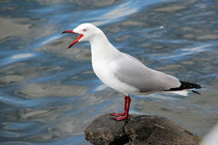Sea Gull Squawking on Rock Stock Images