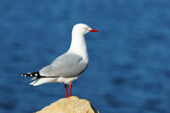 Sea gull. Stand up near ocean in New Zealand stock photo