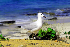 Sea-gull standing on beach Royalty Free Stock Photo