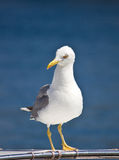 Sea gull standing on boat front view Royalty Free Stock Photography