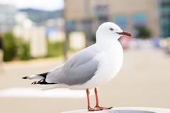 Sea gull. A standing sea gull in the city near coast Stock Photos