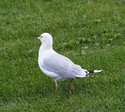 Sea Gull Standing On Grass Stock Photography