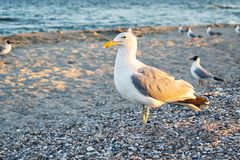 Sea gull standing on his feet on the beach at sunset. Close up view of white birds seagulls walking by the beach against natural b. Lue water background. A Stock Photo