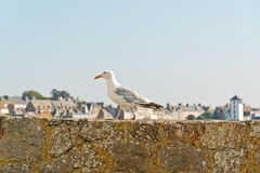 Sea gull standing on old city wall of Saint Malo. Brittany. Royalty Free Stock Image